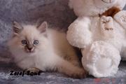 Невские маскарадные котята от титулованных родителей