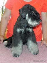 Щенок цвергшнауцера,  мальчик,  6 месяцев,  окрас чёрный с серебром.